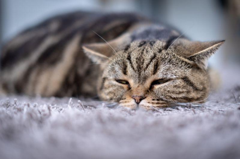 lethargic cat
