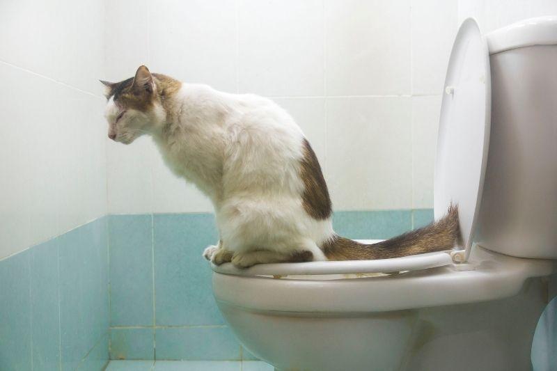 cat on the toilet
