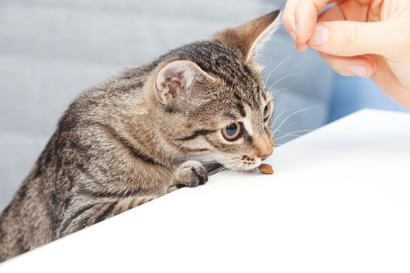 cat eating treats