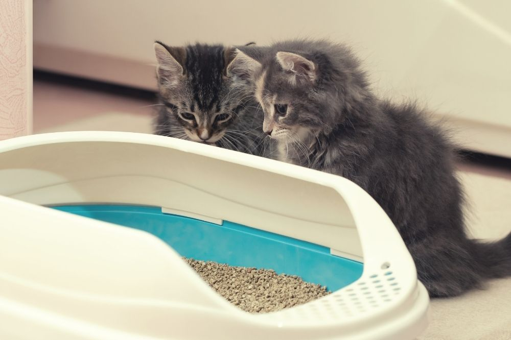 2 kittens staring into the litter box.