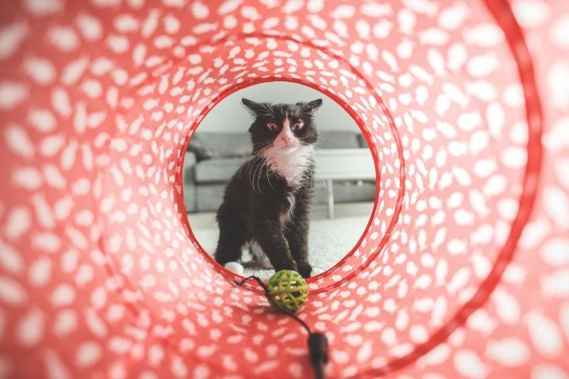 cat looking at toy through tunnel