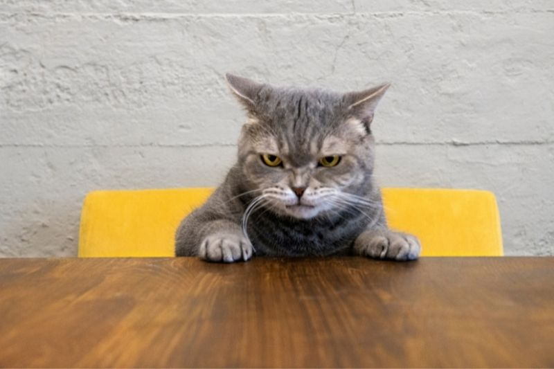 angry cat at table