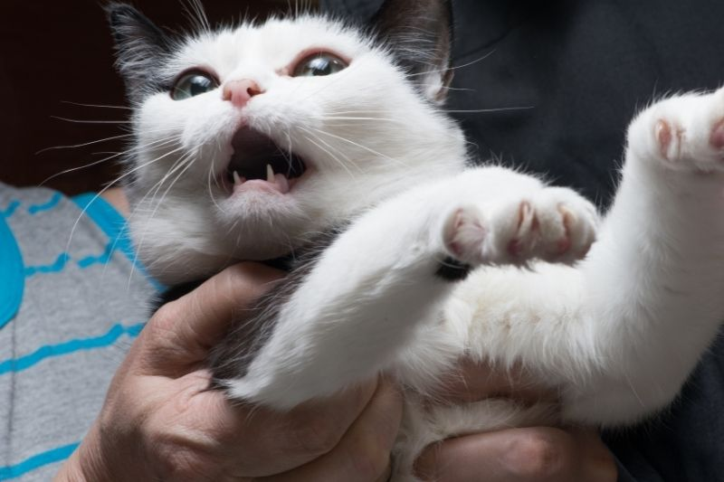 angry cat in someone's arms