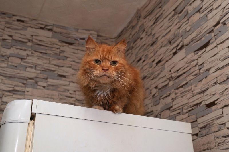 cat on top of refrigerator