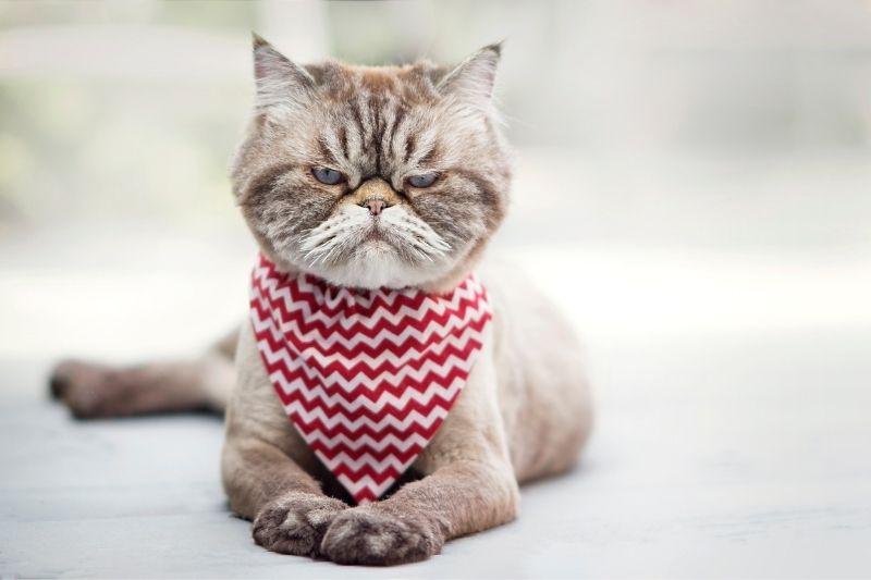 cat sneering wearing a bandana