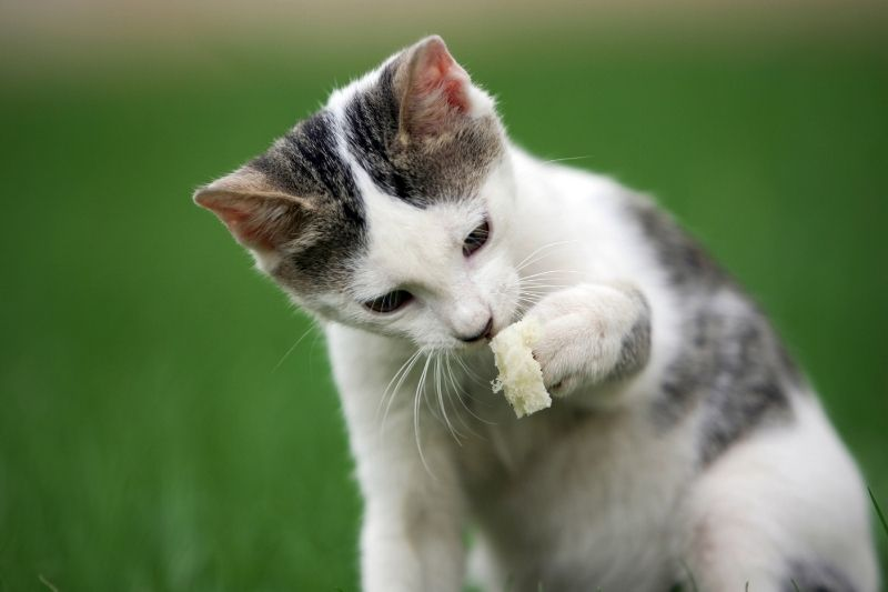 cat with bread in paw