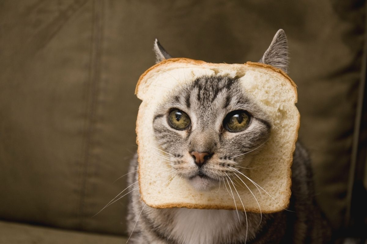 cat with bread on head