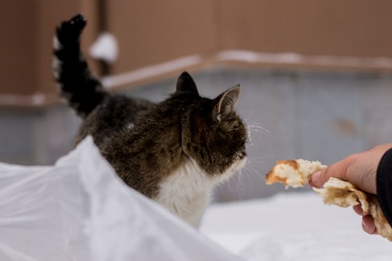 cat being offered bread