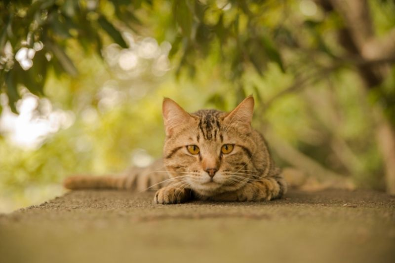 cat staring ready to pounce
