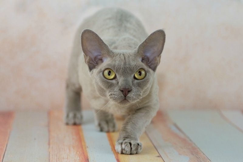 cat breeds that don't shed- devon rex
