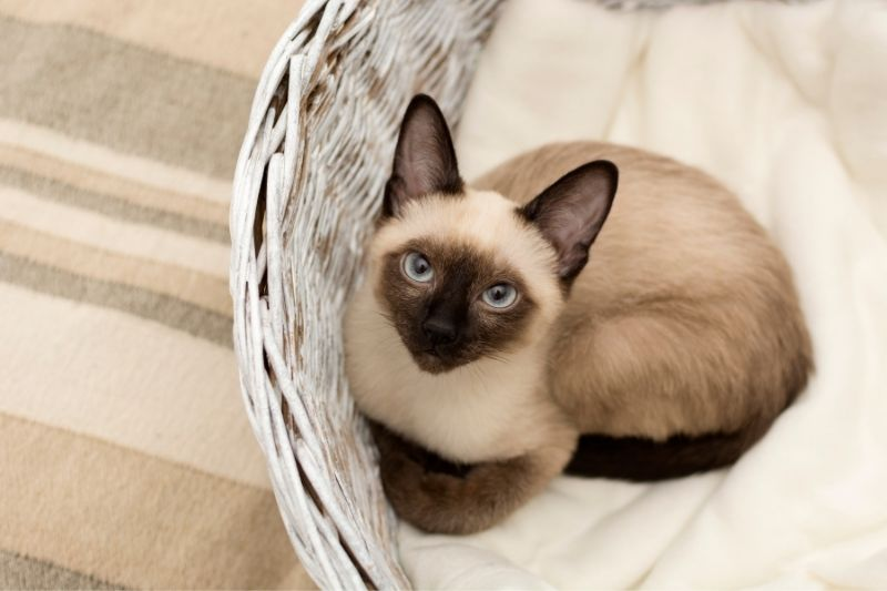 siamese cat laying down