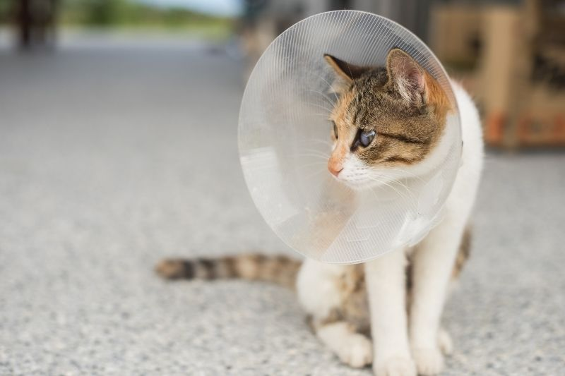 cat in protective cone