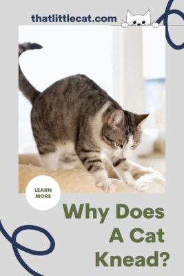 why does a cat knead?