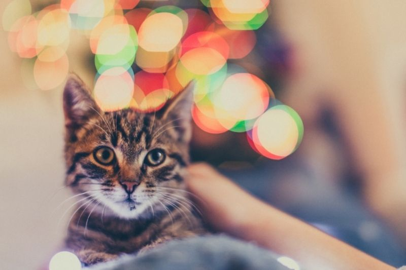 cat in front of Christmas lights
